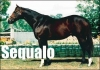 The Racehorse SEQUALO Raced Against Australia's Best Sprinters Over 5